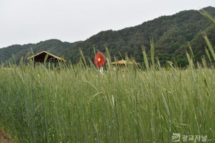 밀밭3.JPG