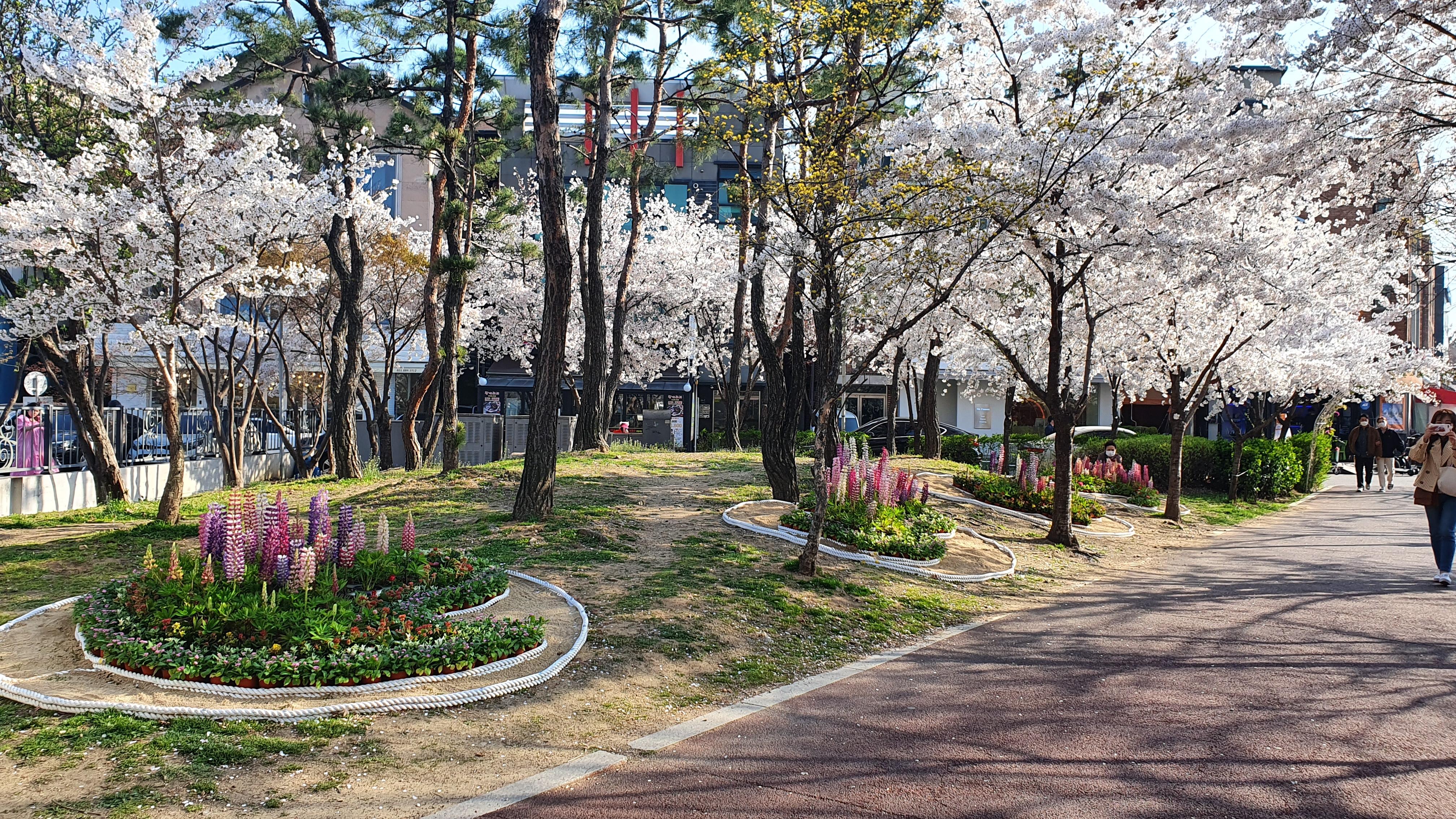 백군기, 기흥‧수지 공원 3곳에 봄꽃 4500포기 심어