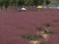 평창강, 가을엔 핑크뮬리 !