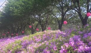 평창읍 산불감시원, 대설에 분홍 봄꽃길 꿈꾸게 하다니....
